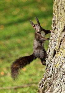 Braunes Eichhörnchen an einem Baum by kattobello