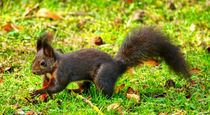 Braunes Eichhörnchen auf Futtersuche by kattobello