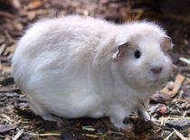 Weißes Rexmeerschweinchen von kattobello