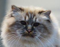 Langhaar Katze by kattobello