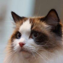 Ragdoll Katze von kattobello