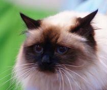 Heilige Birma Katze by kattobello