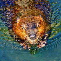 Biber Schwimmen by kattobello