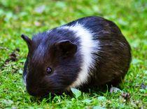 Schwarz weißes Kurzhaarmeerschweinchen Baby auf der Wiese by kattobello