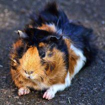 Relaxendes dreifarbiges Rosettenmeerschweinchen by kattobello