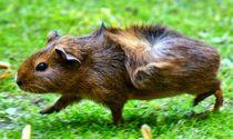 Braunes Rosettenmeerschweinchen Baby im Schweinsgalopp by kattobello