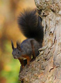 Rot braunes Eichhörnchen by kattobello