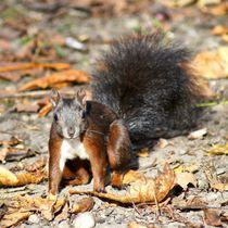 Eichhörnchen Baby im Herbstlaub von kattobello