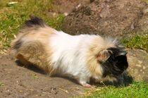 Dreifarbiges Rosettenmeerschweinchen von kattobello