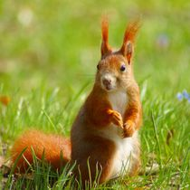 Rotes Eichhörnchen auf der Wiese von kattobello
