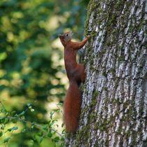 Rotes Eichhörnchen am Baumstamm by kattobello