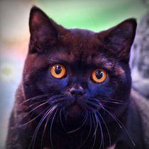 Britisch Kurzhaar Katze by kattobello