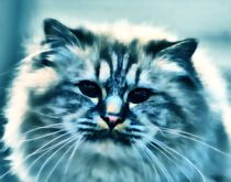 Longhair Cat in blue by kattobello