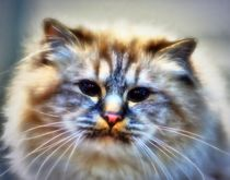 Dreamy longhair cat by kattobello