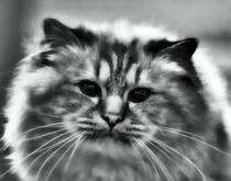 Longhair Cat in black and white by kattobello