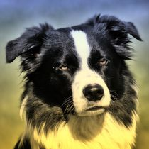 Border Collie im Abendschein by kattobello