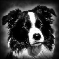 Border Collie in black and white 2 by kattobello