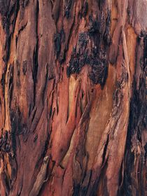 'Close-up of shedding bark of Eucalyptus tree - shades of brown.' by Ro Mokka