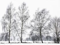 Winter birches - Europareservat Unterer Inn by Chris Berger