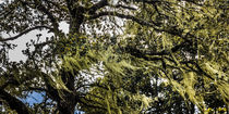 bhutanese mountain tree by anando arnold