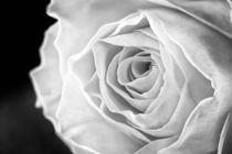 Macro of Yellow Rose von maxal-tamor