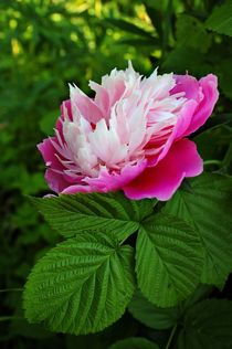 Pink peony in the summer garden von Yuri Hope