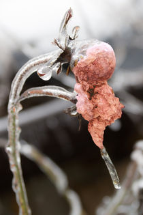 Ice Age -  The last rose preserved in ice by Chris Berger