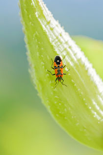 Firebug on a Fruit of Asclepias Syriaca by maxal-tamor