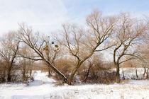 The V tree under the snow von maxal-tamor