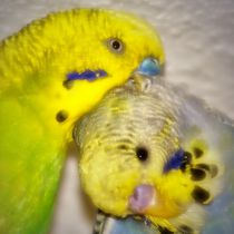 Traumhafte Wellensittich Liebe by kattobello