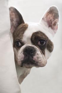 Französische Bulldogge / 1 by Heidi Bollich
