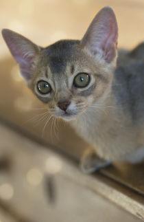 Abessinier Kitten / 28 by Heidi Bollich