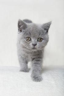 Britisch Kurzhaar Kitten / 85 by Heidi Bollich