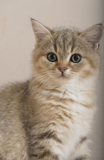 Britisch Kurzhaar Kitten / 84 by Heidi Bollich