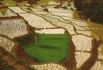 Reisfelder by Karlheinz Milde