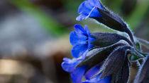 Die blauen Blüten des Lungenkrauts by Ronald Nickel