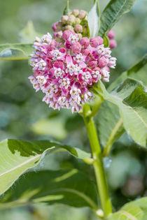 Asclepias Flower by maxal-tamor