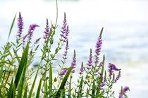 Lythrum salicaria by maxal-tamor