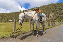 White Horse Tied Up at Cotopaxi National Park Ecuador by Daniel Ferreira Leites Ciccarino