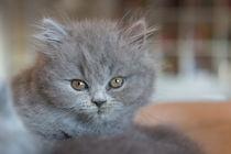 Britisch Langhaar Kitten / 13 von Heidi Bollich