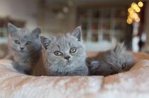 Britisch Kurzhaar Kitten / 92 by Heidi Bollich