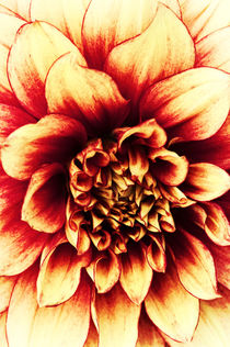 La Dahlia Red by AD DESIGN Photo + PhotoArt