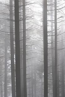 'Nebel im Wald' von Bernhard Kaiser
