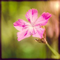 Wild Dianthus Armeria by maxal-tamor