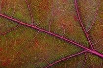 Autumn Oak Leaf Macro by maxal-tamor