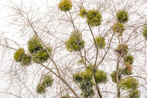 Viscum Album on the Tree von maxal-tamor