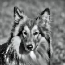 Collie in black and white by kattobello