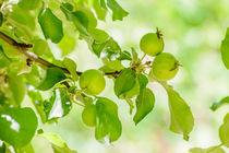 Young Wild Apple in Spring by maxal-tamor