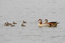 Nilgans Familie auf einem See by ropo13