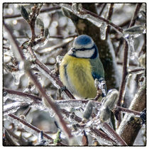 Bird in the ice - Blaumeise by Chris Berger